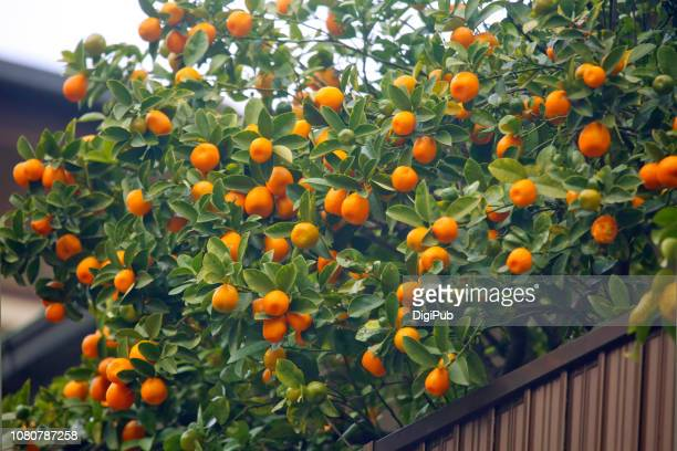 Fruit Bearing Trees Stock Pictures Royalty Free Photos Images