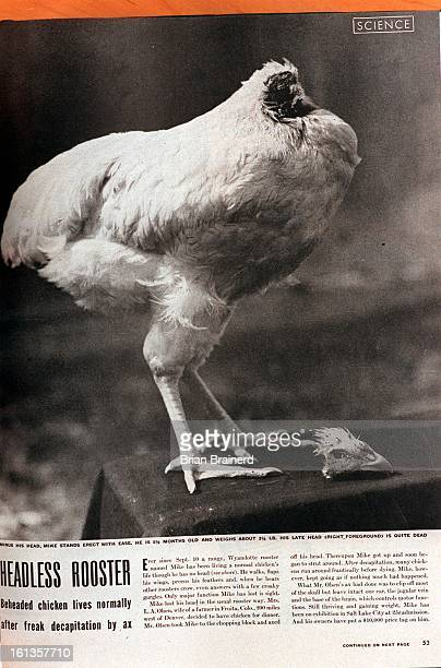 'Mike' the headless chicken Copy photo from Life Magazine