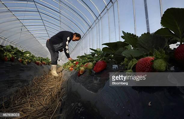 Mikio Okuda, owner of Okuda Farm, harvests Himebijin strawberries in a greenhouse at his farm in Hashima, Gifu Prefecture, Japan, on Tuesday, Jan....