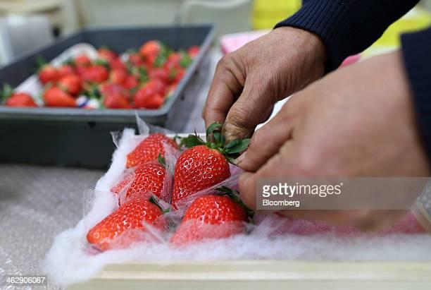 Mikio Okuda, owner of Okuda Farm, packs harvested Himebijin strawberries at his farm in Hashima, Gifu Prefecture, Japan, on Tuesday, Jan. 14, 2013....