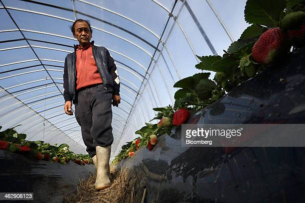 Mikio Okuda, owner of Okuda Farm, walks through a greenhouse as he harvests Himebijin strawberries at his farm in Hashima, Gifu Prefecture, Japan, on...
