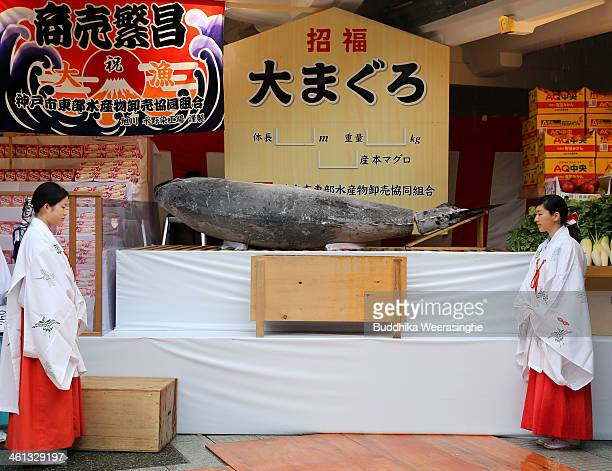 Miko stand beside to offered 2.6 meters long, 260 kilograms weight bluefin tuna at Nishinomiya Shrine, the head shrine of Ebisu sect, a deity of...