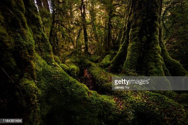 mildford sound rain forest - コケ ストックフォトと画像