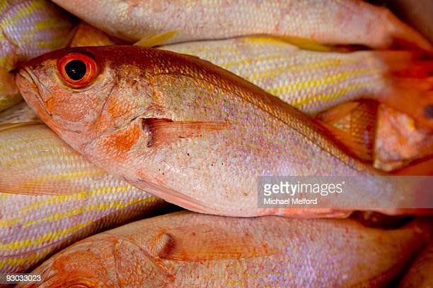 Freshly caught red snapper in Tobago.