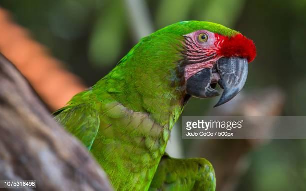 military macaw close up shot - jo wilder stock-fotos und bilder