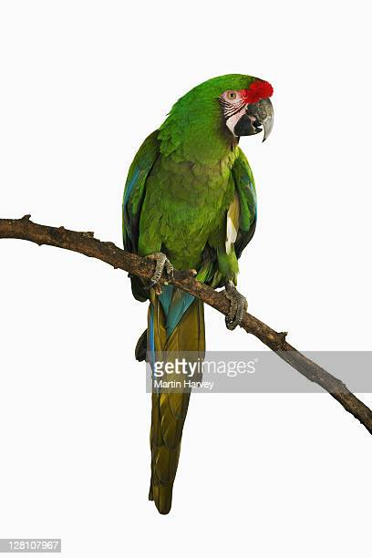 military macaw. (ara militaris). in studio. status: endangered. distribution: native to central and south america and mexico - perching stock pictures, royalty-free photos & images