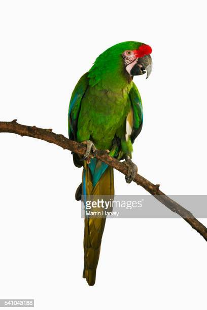 military macaw - loro fotografías e imágenes de stock