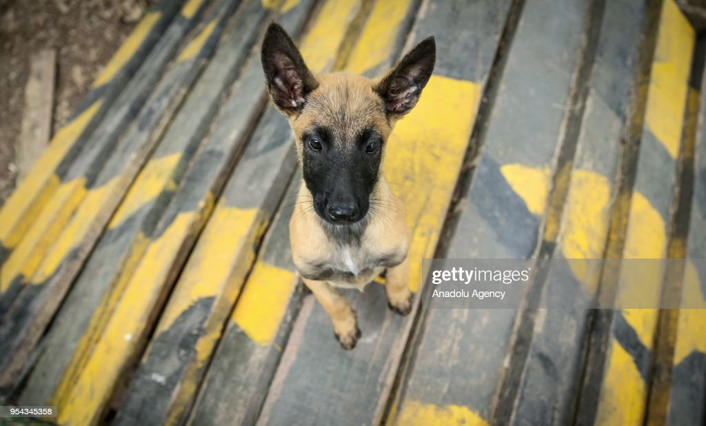 A Military Working Dog Is Seen During The Training At Military