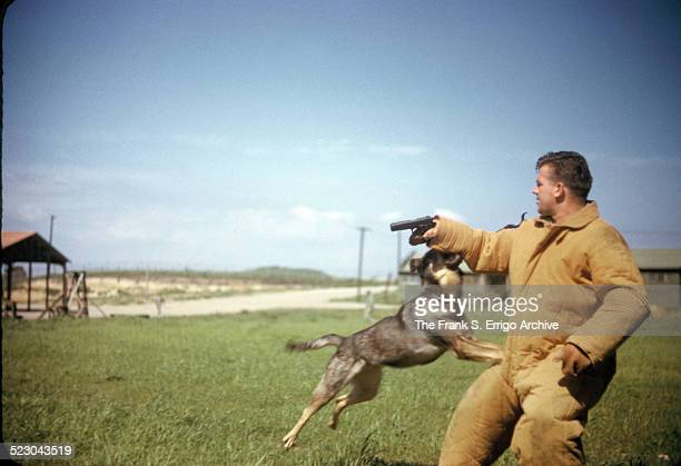 A military working dog undergoes training and jumps up to bite the arm and subdue a subject holding a pistol during World War II circa 1943 The...