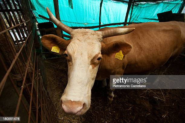 CONTENT] A milk cow waits for food in a small stable in Sorrento Italy where traditional dairies are locally produced