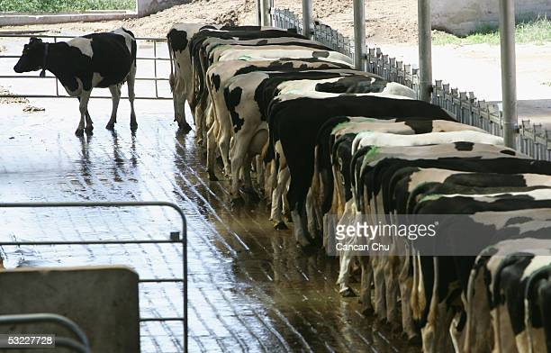 Milk cows stand in a barn at Mengniu Dairy Co Ltd's modern dairy farm July 12 2005 in Hohhot Inner Mongolia autonomous region in north China The farm...