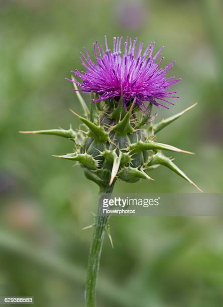 Milk thistle / Blessed Mary thistle Silybum marianum