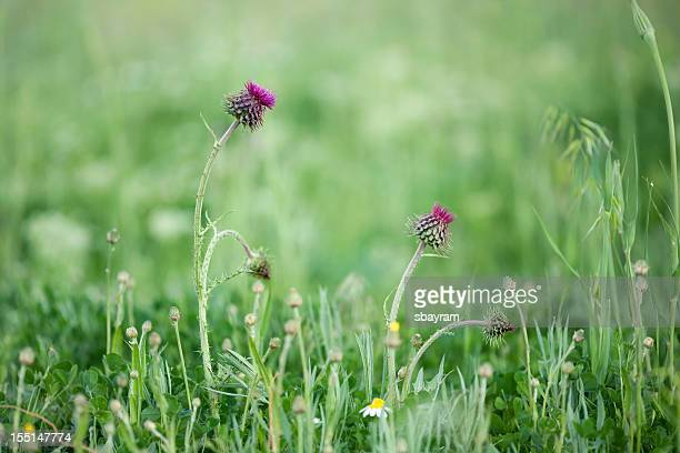 milk thistle (silybum marianum) - uncultivated stock pictures, royalty-free photos & images