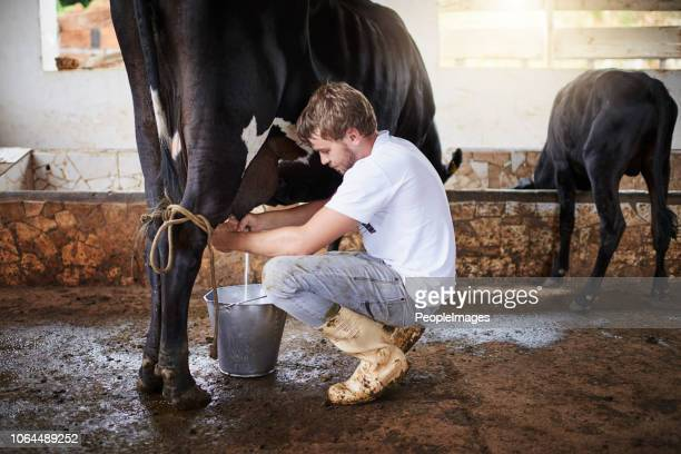 milking a cow - milking stock pictures, royalty-free photos & images