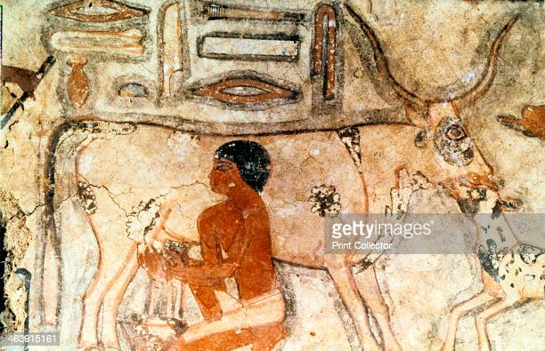 Milking a cow wall painting from the tomb of Methethi Saqqara Ancient Egypt Old Kingdom c23712350 BC Methethi was a royal noble who held the office...