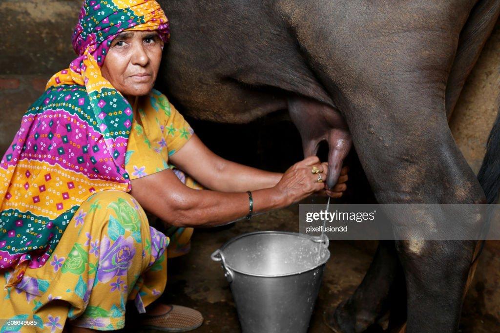 Milking Buffalo : Stock Photo