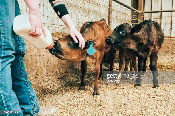 milking calves - calf stock pictures, royalty-free photos & images