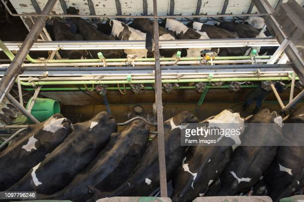 Milking cattle in in a herringbone parlour system seen from above Cumbria UK