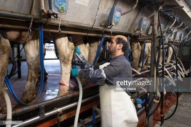 milking  cows - vertebrato foto e immagini stock