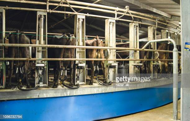 Milking cows special agriculture farming equipment on dairy farm.