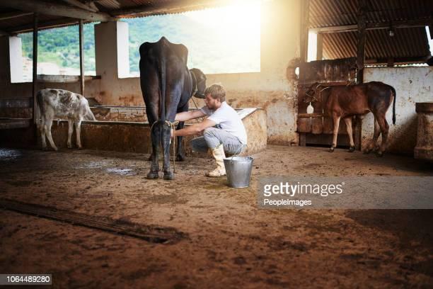 melken einer kuh nach dem nächsten - mann beim melken stock-fotos und bilder