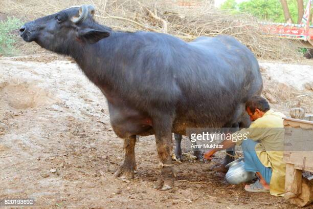milking the buffalo - pakistani culture stock photos and pictures