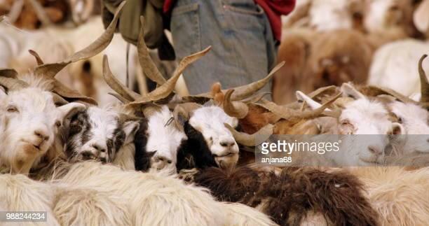 milking the pashmina goat