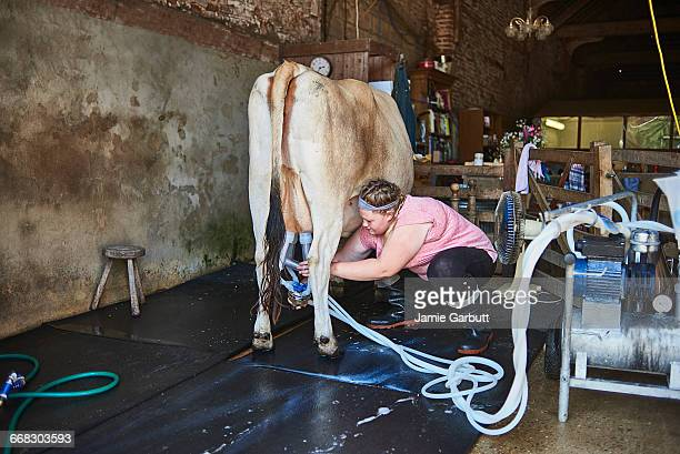 milkmaid attaching milking machine to a dairy cow - milk maid stock photos and pictures