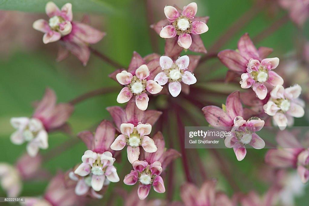 Milkweed Flower Closeup : Stock Photo