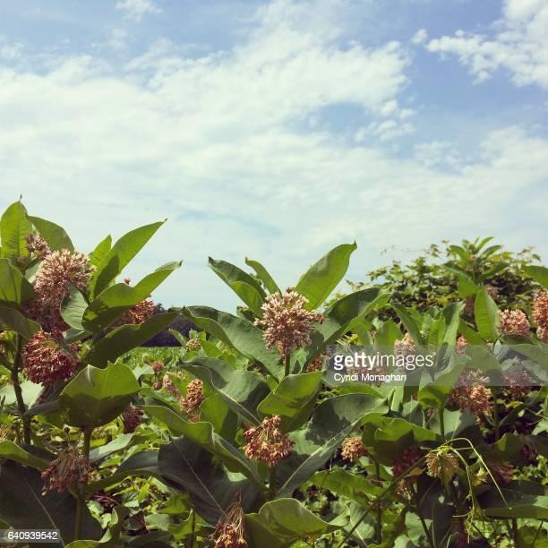 milkweed meadow - milkweed stock pictures, royalty-free photos & images