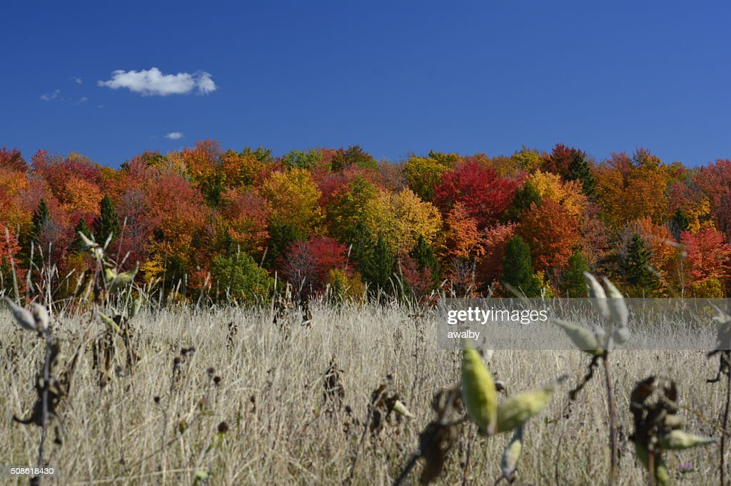 Milkweeds with Fall Colors : Stock Photo