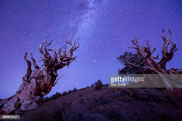 Milky Way and Bristlecone Pines