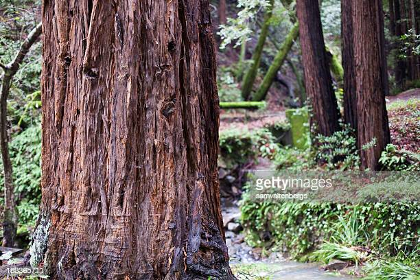 mill valley redwoods - muir woods stock photos and pictures