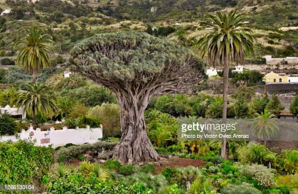 millenary dragon tree in the village of icod in tenrife island - victor ovies fotografías e imágenes de stock