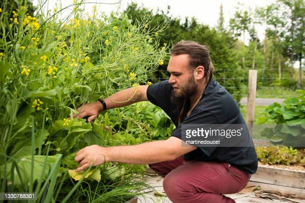 """millennial man harvesting in permaculture garden. - """"martine doucet"""" or martinedoucet stock pictures, royalty-free photos & images"""