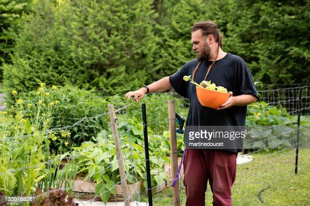 """millennial man harvesting lettuce in permaculture garden. - """"martine doucet"""" or martinedoucet stock pictures, royalty-free photos & images"""