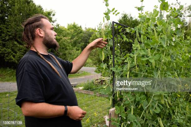 """millennial man harvesting sweetpeas in permaculture garden. - """"martine doucet"""" or martinedoucet stock pictures, royalty-free photos & images"""