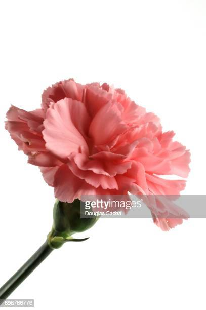 millennial pink - carnation flower stock pictures, royalty-free photos & images