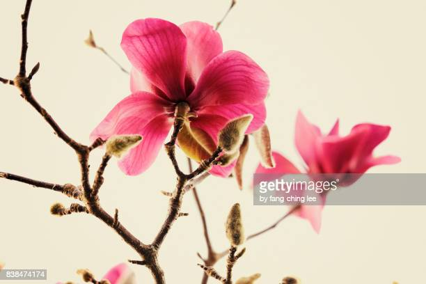 millennial pink - magnolia stock photos and pictures