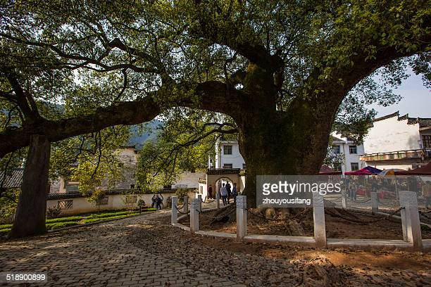 Millennium ancient camphor tree