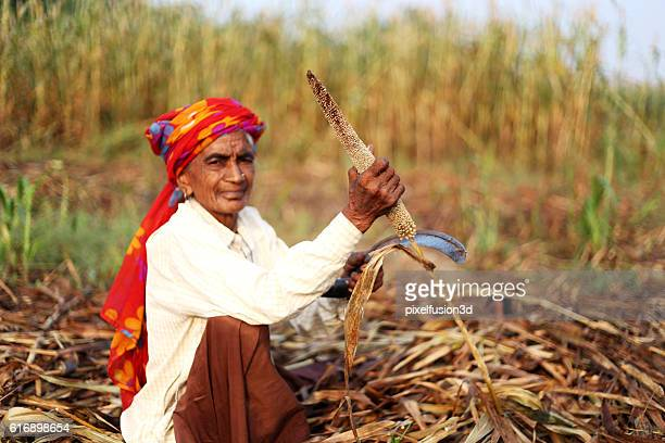 millet crop harvest ! - millet stock pictures, royalty-free photos & images