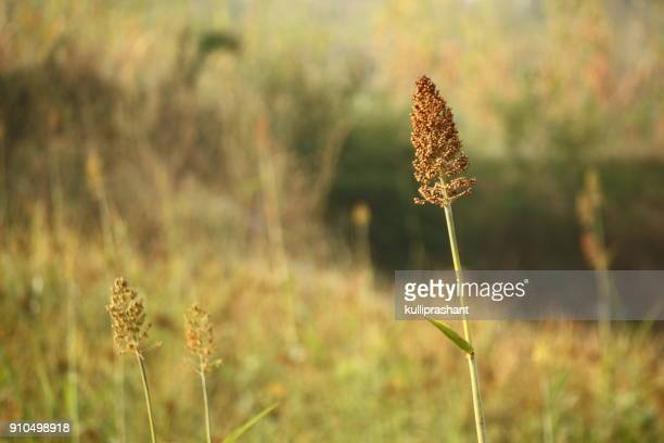 millet crop with background blur - millet stock pictures, royalty-free photos & images