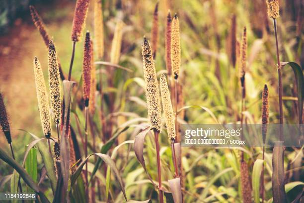 millet flower - millet stock pictures, royalty-free photos & images