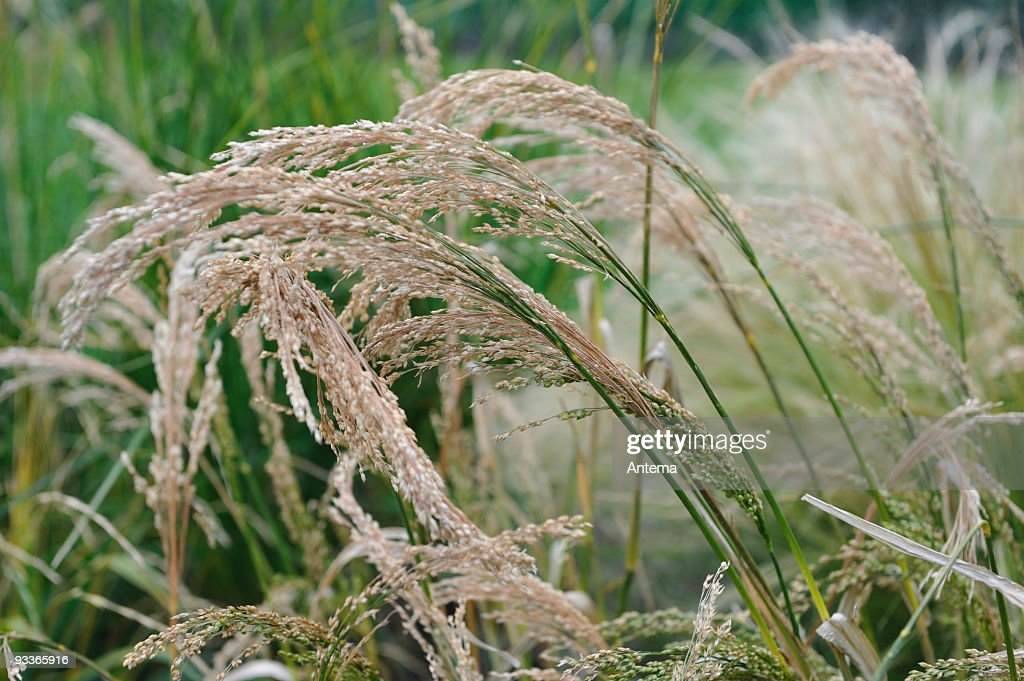 Millet, Panicum Miliaceum : Stock Photo