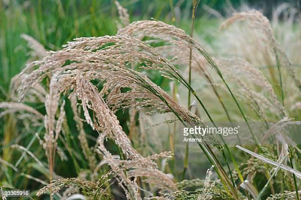 Millet, Panicum Miliaceum