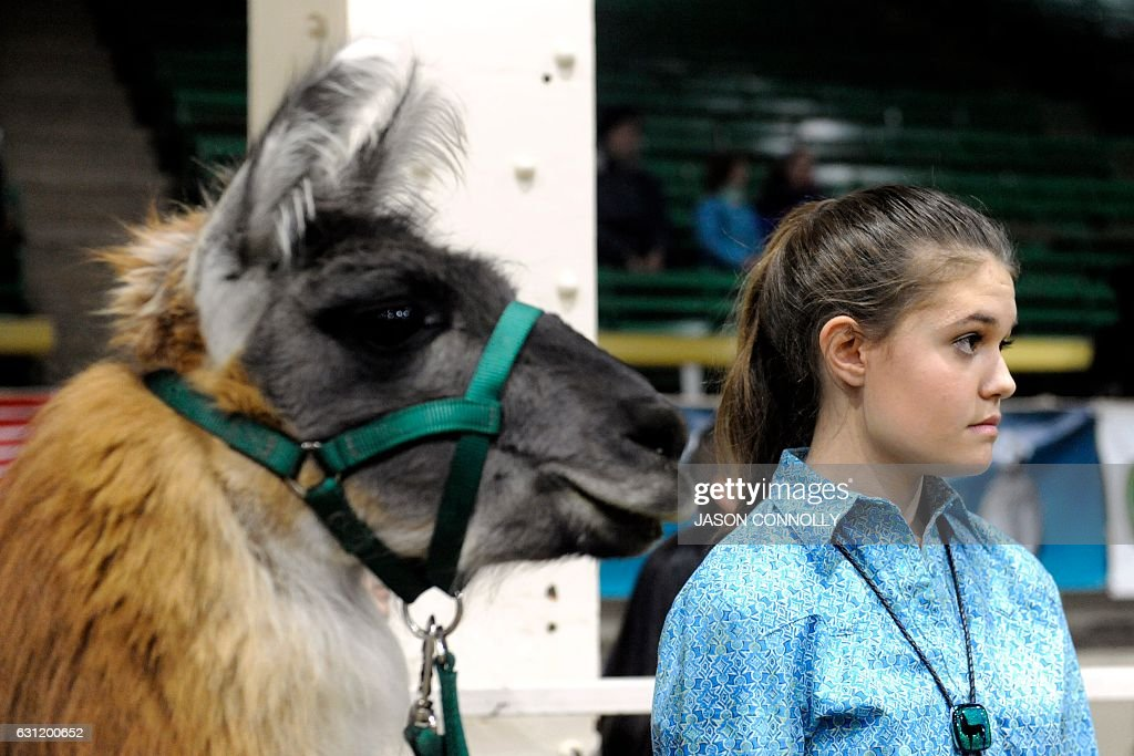 Millie Mayo of Arvada, Colorado, and her llama Humprey wait to compete in the Llama Performance Show at the National Western Stock Show in Denver, Colorado on January 7, 2017. Established in 1911, the National Western Stock Show is the premier livestock, rodeo, and horse show in the United States. / AFP / Jason Connolly