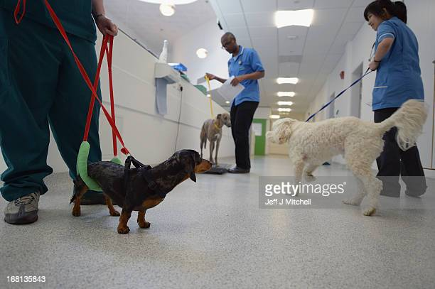 Millie the Dachshund waits in the treatment area at the small animal hospital at the School of Veterinary Medicine at the University of Glasgow on...