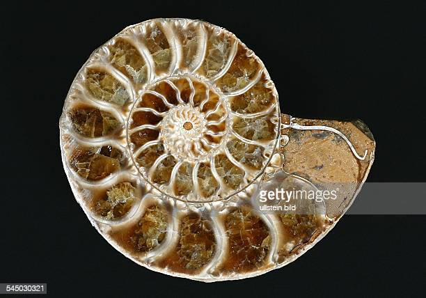 15 million years old ammonite from Mauritius