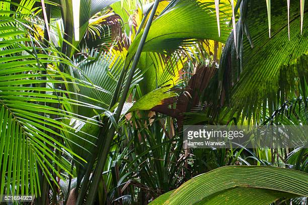 'millionaire's salad' palm and coco de mer - coco de mer stock pictures, royalty-free photos & images