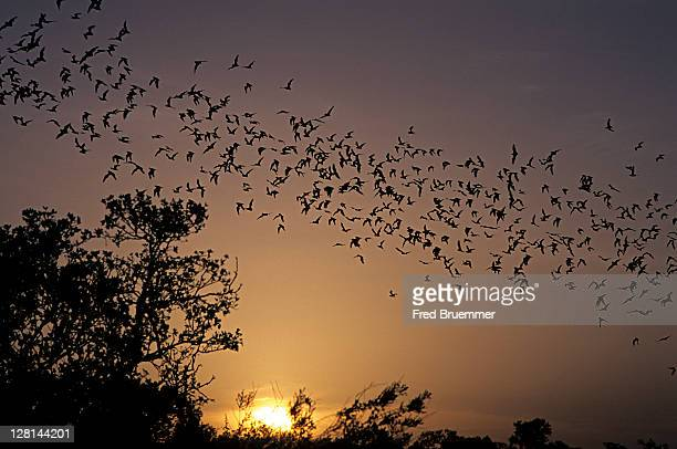 Millions of Mexican Free-tailed Bats stream out of breeding cave at dusk, Texas, USA